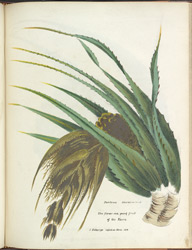 Pandanus Odoratissimus. The flower and young fruit of the Keura. Copied on stone